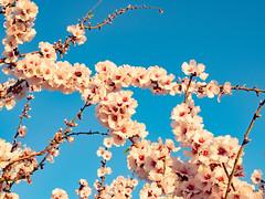 sessió trenc d'ametler 25 (.carleS) Tags: trenc dalba olympus omd em5 ii ametlers benissa sol sun sunrise almond tree