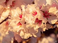 sessió trenc d'ametler 24 (.carleS) Tags: trenc dalba olympus omd em5 ii ametlers benissa sol sun sunrise almond tree