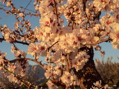 sessió trenc d'ametler 23 (.carleS) Tags: trenc dalba olympus omd em5 ii ametlers benissa sol sun sunrise almond tree