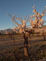 sessió trenc d'ametler 22 (.carleS) Tags: trenc dalba olympus omd em5 ii ametlers benissa sol sun sunrise almond tree