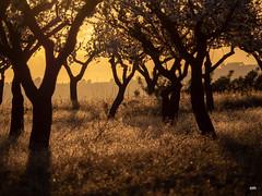 sessió trenc d'ametler 1 (.carleS) Tags: trenc dalba olympus omd em5 ii ametlers benissa sol sun sunrise almond tree