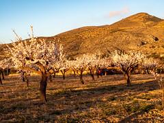 sessió trenc d'ametler 21 (.carleS) Tags: trenc dalba olympus omd em5 ii ametlers benissa sol sun sunrise almond tree