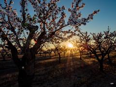 sessió trenc d'ametler 20 (.carleS) Tags: trenc dalba olympus omd em5 ii ametlers benissa sol sun sunrise almond tree