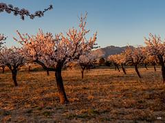 sessió trenc d'ametler 16 (.carleS) Tags: trenc dalba olympus omd em5 ii ametlers benissa sol sun sunrise almond tree