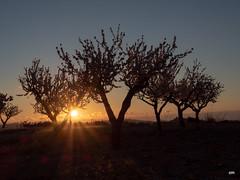 sessió trenc d'ametler 11 (.carleS) Tags: trenc dalba olympus omd em5 ii ametlers benissa sol sun sunrise almond tree