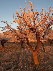 (.carleS) Tags: trenc dalba olympus omd em5 ii ametlers benissa sol sun sunrise almond tree