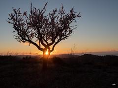sessió trenc d'ametler 7 (.carleS) Tags: trenc dalba olympus omd em5 ii ametlers benissa sol sun sunrise almond tree