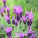 Tender Lavender