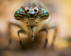 Cleg Fly (Geraint Radford) Tags: macro macrophotography horsefly clegfly wildlife nature insect bbcearth eyes bugs close depth omd em1mkii foocusstacking animals