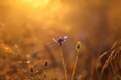 IMG_4419 (geraldtourniaire) Tags: schärfentiefe sonnenaufgang eos6d ef ef28100lmacroisusm kornblume natur nature bokeh licht l