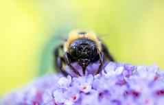 Bee in Colors (arlene sopranzetti) Tags: bee colors yellow macro summer buena new jersey