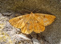 Orange Moth - Angerona prunaria (andrewkirby255) Tags: stokeabbott dorset moth orangemoth