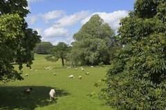 OutOfTown (Tony Tooth) Tags: nikon d600 nikkor 50mm f18g pastoral countryside rural farmland farming sheep snelston derbyshire england