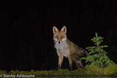 Red Fox after midnight. (stanley.ashbourne) Tags: redfox nature wildlife stanashbourne wildlifephotography night
