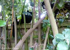 June 25th, 2019 Caterwauling on the garden fence (karenblakeman) Tags: cavershamgarden caversham uk cats fence trees 2019 2019pad june reading berkshire pepper mankytom