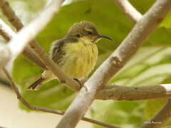 Beautiful Sunbird Cinnyris p. pulchellus (nik.borrow) Tags: bird sunbird richardtoll