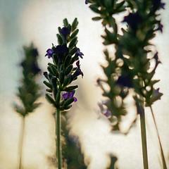 seeing with new eyes (1crzqbn) Tags: lavender light outside bokeh blur sliderssunday inmygarden flowers 1crzqbn