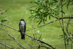 Eastern Kingbird (adamsdale616) Tags: northern color beauty nature animal wildlife outdoor waterfront wisconsin • dusk autumn golden water pond sky light new usa spring summer animals birds midwest colorful landscape nikon d7200 plant reflection detail closeup