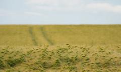 Summer (Dibbly Dobbler) Tags: wheat field sony sonyrx10iii
