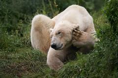 phone in the paw (rondoudou87) Tags: oursblanc ours whitebear bear blanc white nounours pentax k1 rondoudou87 parc park parcdureynou zoo reynou nature natur herbe green grass vert verdure patte paw sigma