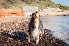 26/52 Leia & fighting the heat (shila009) Tags: leia perro dog roughcollie beach playa water summer verano