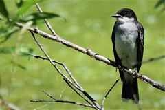 Kingbird (adamsdale616) Tags: northern color beauty nature animal wildlife outdoor waterfront wisconsin • dusk autumn golden water pond sky light new usa spring summer animals birds midwest colorful nikon d7200 reflection detail closeup