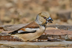 Hawfinch - Bico-grossudo (anpena) Tags: birds birdphotography passerines finches hawfinch