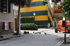 Guineas crossing King St., Charleston (MJRGoblin) Tags: charleston southcarolina charlestoncounty 2019