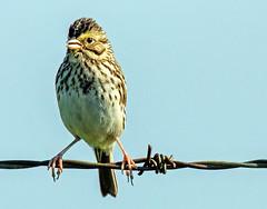 I have tried in my way to be free (edmason88) Tags: bird wire posing leonardcohen tamron150600 strathconacounty alberta canada