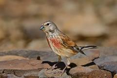 Linnet - Pintarroxo (anpena) Tags: birds birdphotography passerines finches linnet
