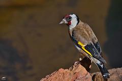 Goldfinch - Pintassilgo (anpena) Tags: birds birdphotography passerines finches goldfinch