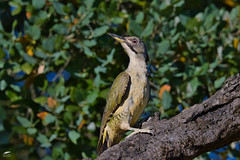 Iberian Green Woodpecker - Peto-verde (anpena) Tags: birds birdphotography woodpeckers iberiangreenwoodpecker