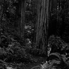 Heritage Grove (bingley0522) Tags: hasselblad500cm carlzeissplanar80mmf28 tmax400 hc110h epsonv500scanner redwoods heritagegrove sammcdonaldcountypark sanmateocounty coastalcalifornia coastrange redwoodforest autaut