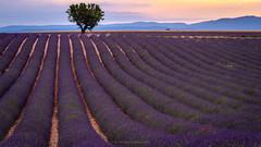The Lavender Infusion (carolina_sky) Tags: lavender provence france valensole plateau sunset tree fields rows poppy purple red symmetry mountains pentaxk1 pentax70200mm skymatthewsphotography pixelshift
