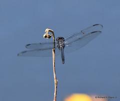 Male Slaty Skimmer_1134_00001-001 (Henryr10) Tags: woodlandmound hamiltoncountyparkdistrict cincinnati greatparksofhamiltoncounty ohio usa slatyskimmer libellula incesta libellulaincesta odonata dragonfly libélula dragonflies libellule libelle drekafluga skimmer