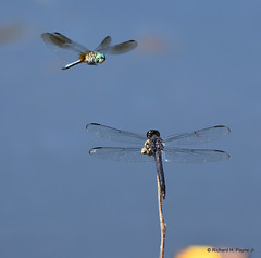 Blue Dasher_Slaty Skimmer_1150_00001-001 (Henryr10) Tags: woodlandmound hamiltoncountyparkdistrict cincinnati greatparksofhamiltoncounty ohio usa bluedasher pachydiplaxlongipennis dragonfly odonata dasher bluedasherdragonfly libélula dragonflies libellula libellule libelle drekafluga libellulidae skimmer pachydiplax slatyskimmer incesta libellulaincesta