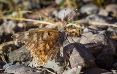Schmetterling (roland_lehnhardt) Tags: schmetterling butterfly falter tiere makro natur eos60d ef50mmf18ii canon