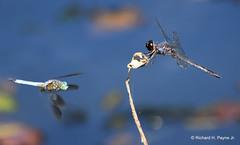 Blue Dasher_Slaty Skimmer_1168_00001-001 (Henryr10) Tags: woodlandmound hamiltoncountyparkdistrict cincinnati greatparksofhamiltoncounty ohio usa bluedasher pachydiplaxlongipennis dragonfly odonata dasher bluedasherdragonfly libélula dragonflies libellula libellule libelle drekafluga libellulidae skimmer pachydiplax slatyskimmer incesta libellulaincesta