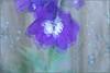 Delphiniums (Mabacam) Tags: 2019 london garden gardenflowers summer purple impressionist multipleexposure delphinium creative outdoor