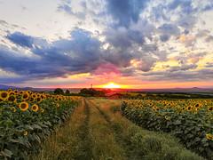Слънчогледен залез (saromon1989) Tags: залез българия туризъм bulgaria sunflowers sunset tourism travel traveller nature summer panorama landscape