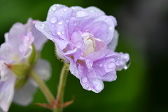 Geranium pratense 'Summer Skies' (After-the-Rain) Tags: geraniumpratensesummerskies gardenflower joanthirlaway gcgarden june2019 nikkor105mm28macro nikond7500