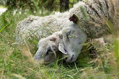 The itch (Petteri Vainio) Tags: vehmaanniemi lamb finland countryside summer flickrfriday groundlevel lammas luonnonsuojelualue naturereserve animals
