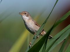 Whitethroat-5056126 (seandarcy2) Tags: birds wild warblers singing fenland lakenheath fen rspb suffolk uk reedwarbler