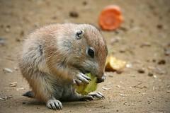 kleines Tier | small animal (swordsweeper) Tags: nagetier rodent berlin tierparkberlin zoologicalgardens friedrichsfelde hauptstadt capital deutschland germany