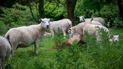 Counting Sheep (chris_m03) Tags: