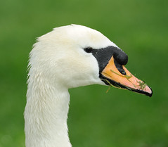 Cob Mute Swan Side Profile (earlyalan90 away awhile) Tags: muteswan cob sideprofile bownessonwindermere lakedistrict cumbria waterfowl swans elegant beautiful nikond700 zoomlens nature photography wildlife lake water avian birding ornithology feathers plumage peaceful