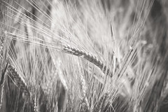 181/365 Barley (belincs) Tags: oneaday uk bw monochrome barley june lincolnshire crop 365 2019 day181365 3652019 365the2019edition 30jun19
