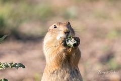 June 29, 2019 - A prairie dog enjoys a snack. (Tony's Takes)