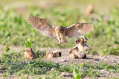 June 29, 2019 - A burrowing owl returns to its nest. (Tony's Takes)
