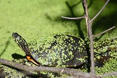 Turtle (Geo Scouter) Tags: wildwoodlake harrisburg pennsylvania turtle